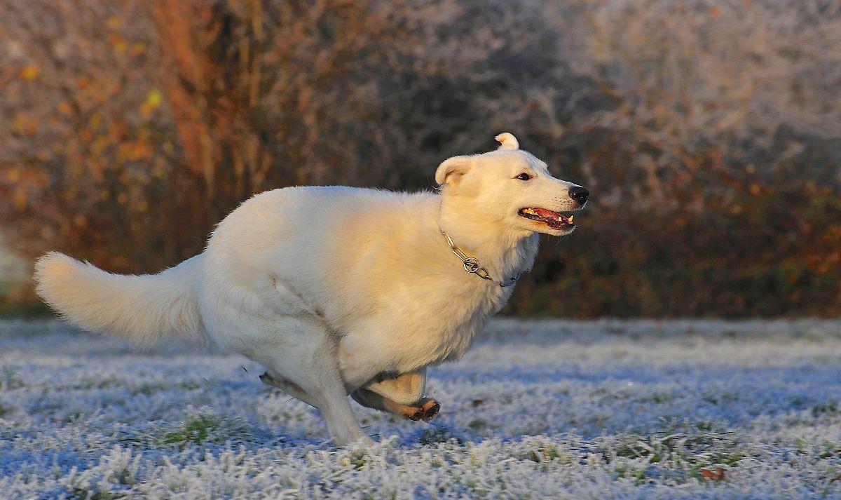 Shepherd dog